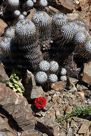 Garra de leon ( Bomarea ovallei ) flower and Copiapoa cactus ( Copiapoa dealbata var . carrizalensis )