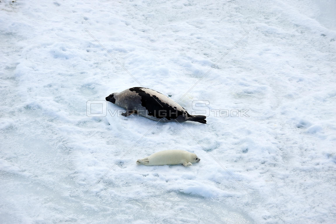 Aerial view of Harp seal (Phoca groenlandicus) female and pup hauled out on sea ice, Magdalen Islands, Gulf of St Lawrence, Q...