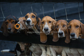 A row of Basset hounds looking through a fence