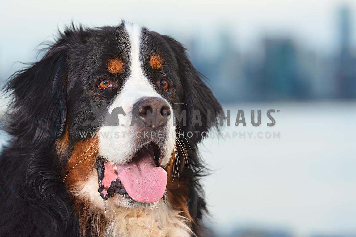 close up of panting bernese mountain dog