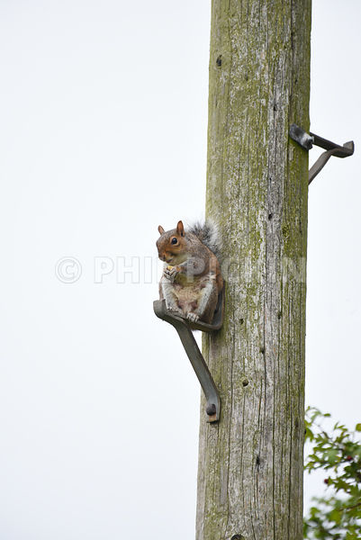 Grey squirrel taking a seat.