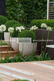 Agapanthus, Ball shaped, Buxus, Container, Contemporary garden, Perennial, Perennial rhizome, Pot, Sphere shaped, Topiary, Wh...