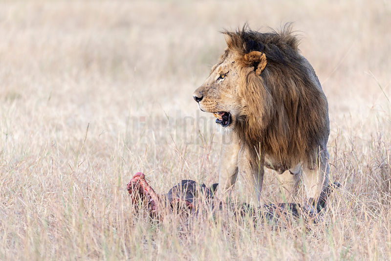 Portrait of a Male Lion with a Wildebeest Kill