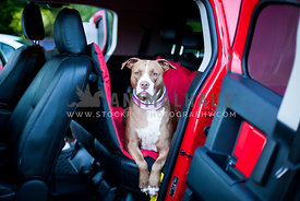 Pitbull in car posing on a red car hammock