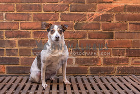 Female terrier sits on fire escape against brick wall