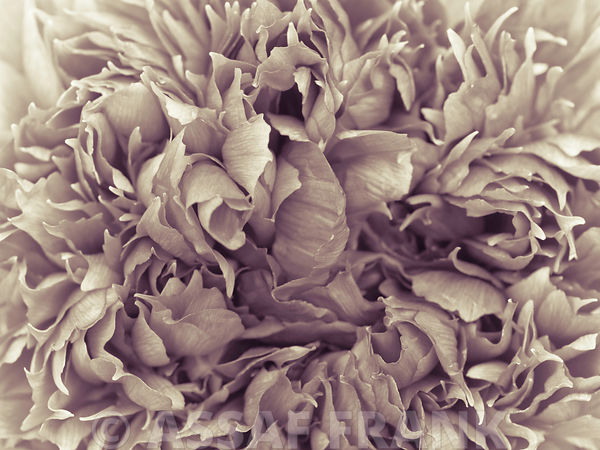 Extreme close-up of peony flower, full frame (Sepia)