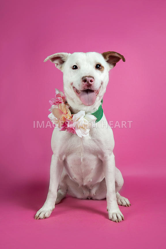 Sitting white dog wearing flowers on pink background