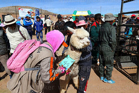Woman noting the weight of an alpaca that has been selected to take part in competition, Curahuara de Carangas, Bolivia