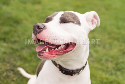 smiling_white_and_silver_dog_close-up_with_eyes_closed