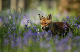 Red Fox in Bluebells, London