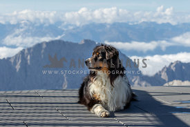 The profile of an australian shepherd with mountains in the background