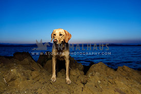 golden retriever looking left on rocky shoreline at sunset