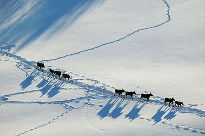 Herd of Moose (Alces alces) following in line in each other's tracks,  aerial view, Valdres, Norway, February.