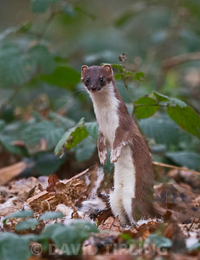 Stoat Mustela erminea Norfolk winter