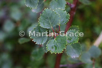 Leaves of Downy Birch (Betula pubescens), West Fjords, Iceland