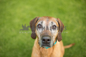 Older Ridgeback dog sits and stares hopefully at the camera