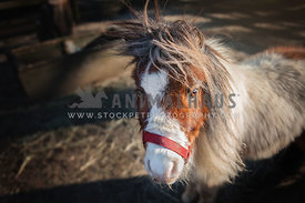 Miniature horse in paddock on a farm wearing a halter