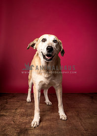 smiling yellow lab mix red background studio looking front