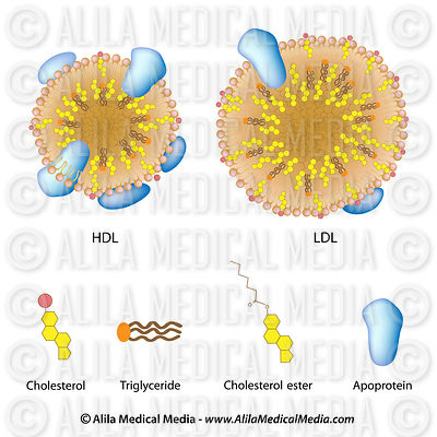 Lipoproteins of the blood, LDL, HDL