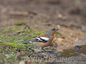 Chaffinch Fringilla coelebs male North Norfolk May