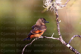 Cliff flycatcher (Hirundinea ferruginea bellicosa)