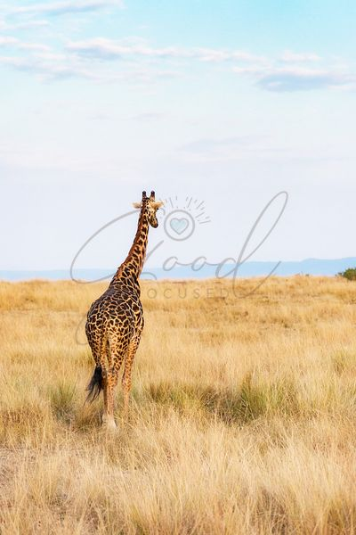 Giraffe Walking in Kenya Africa - Vertical