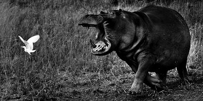 9724-Hippo_in_a_bad_mood_Laurent_Baheux