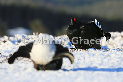 Male Black Grouse (Lyrurus (Tetrao) tetrix) on the lek, Royal Deeside, Scotland