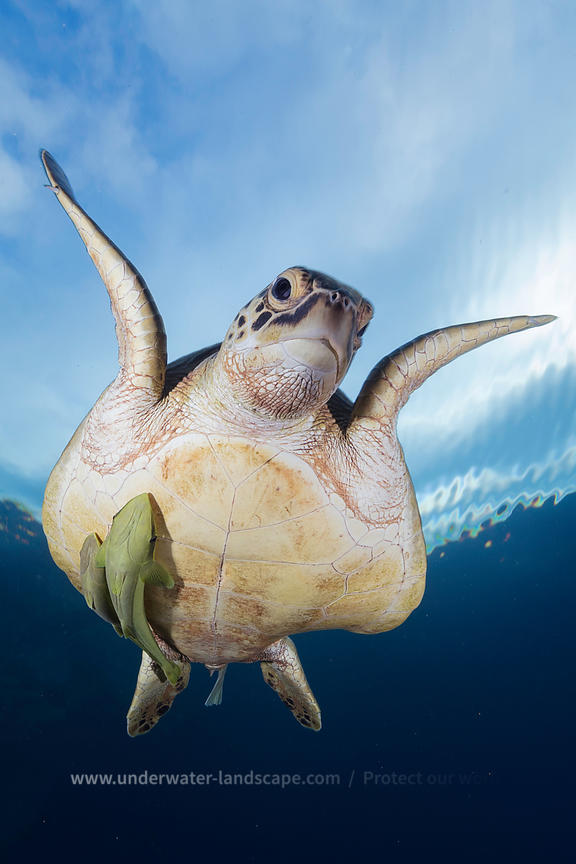 Green turtle with remora fish