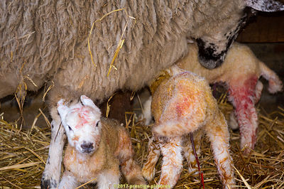 New born lambs within the first few minutes of life