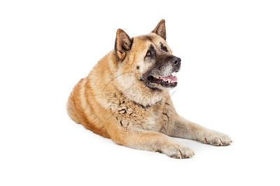 Large Akita Dog Laying Lookng to Side
