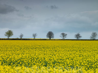 Rapeseed Field photos