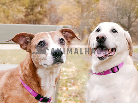 two senior dogs posing together in fall