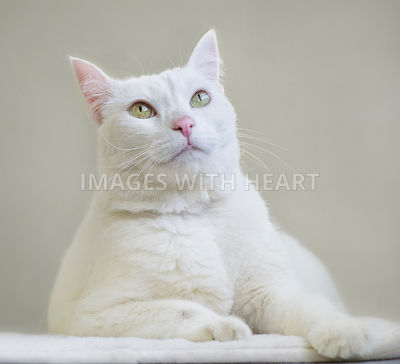 Beautiful white cat looking up