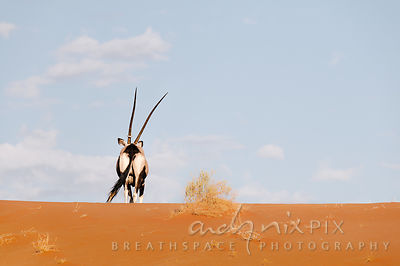One gemsbok (oryx gazella) with a camelthorn (acacia erioloba) seed pod around its horn, of at the top of a red sand dune