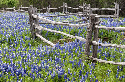 Old Fence and Bluebonnets