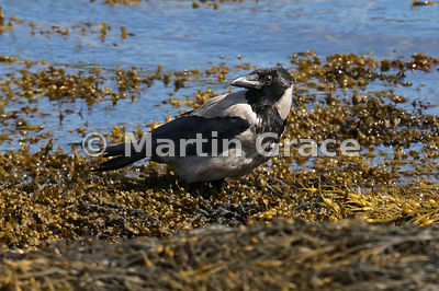 Hooded Crow (Corvus cornix), Loch Spelve, Isle of Mull, Scotland