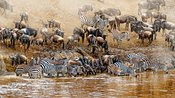 Kenya Great Wildebeest and Zebra Migration Scene