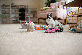 Cat laying on living room floor with a bunch of toys in front