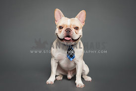 A frenchie wearing a tie in the studio