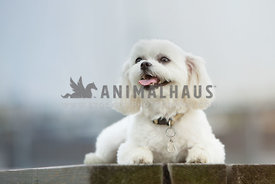 white maltese dog sitting on picnic table