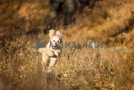 Doodle Dog Running in Brown Grass