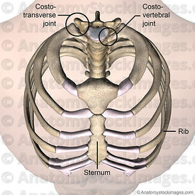 torso-ribcage-ribs-costae-costal-first-1th-rib-costotransverse-costovertebral-joint-sternum-front-skin-names