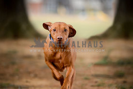 vizsla dog running high speed looking at viewer
