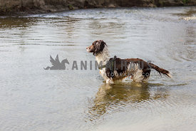 spaniel dog stood in lake looking out