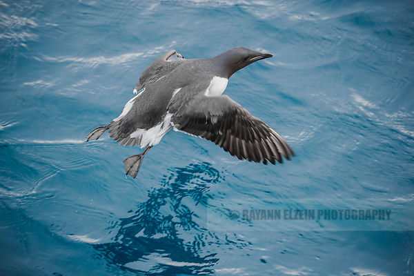 Brünnich's guillemot flying