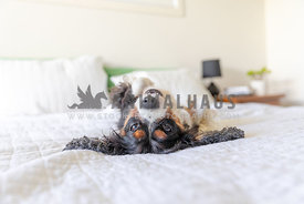relaxed and happy dog laying upside down on a bed