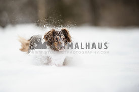Daschund running in fresh snow