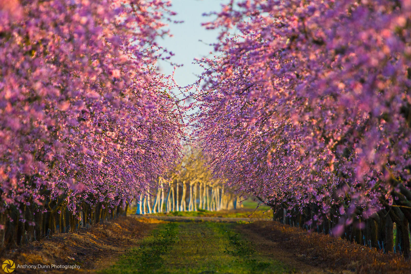 Peach Orchards in Bloom #17