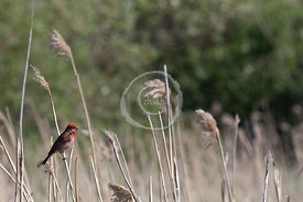 [Common Rosefinch - Carpodacus erythrinus]-[FI-Unnamed Road]